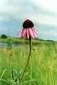 Echinacea Echina10