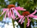 Echinacea Echina11