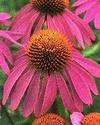 Echinacea Echina13