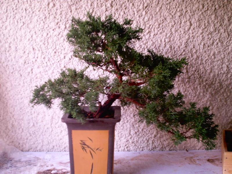 juniperus chinensis a former Bonsai11
