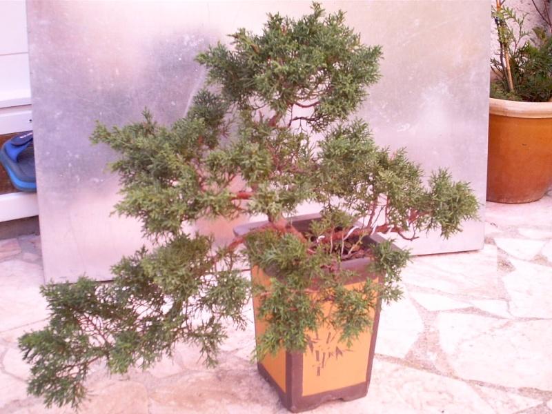 juniperus chinensis a former Bonsai12