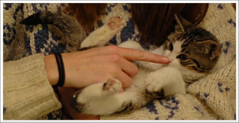 Aribo petit chaton de 4 mois tigré et blanc Calin210