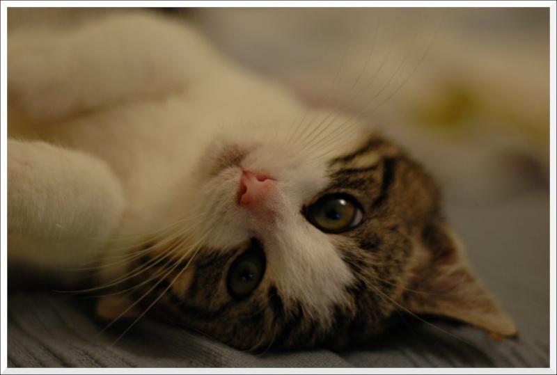 Aribo petit chaton de 4 mois tigré et blanc Lachou10