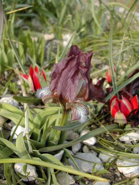 Le 1er iris barbu en fleur Dscn5812