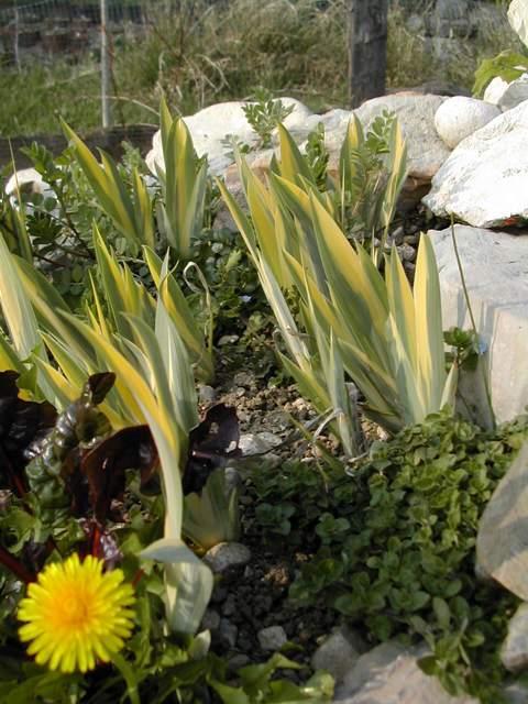le beau feuillage d'Iris pallida aureovariegata Dscn5813