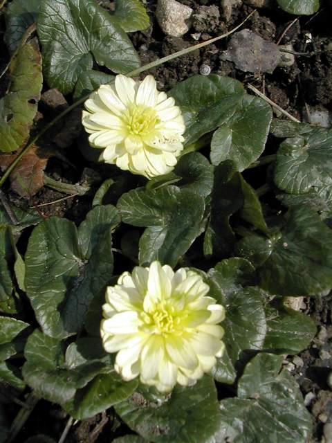 Les cultivars de Ranunculus ficaria Dscn5814