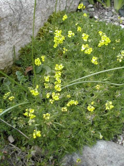 Des plantes de rocaille pour débuter Dscn5914