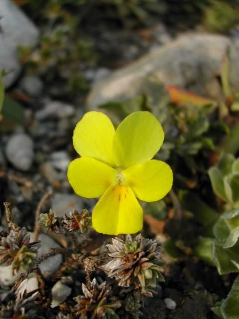 Viola stojanowii Dscn5918