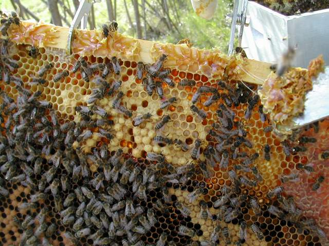 Travaux de printemps à la ruche Dscn5919