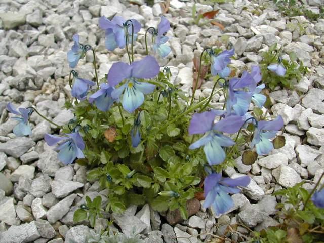 Viola hispida Dscn6117