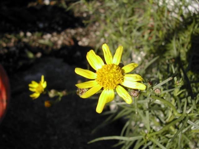 une jolie composée jaune Dscn8215