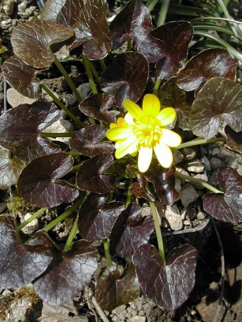 Les cultivars de Ranunculus ficaria Ranunc10