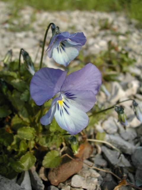 Viola hispida Viola_10