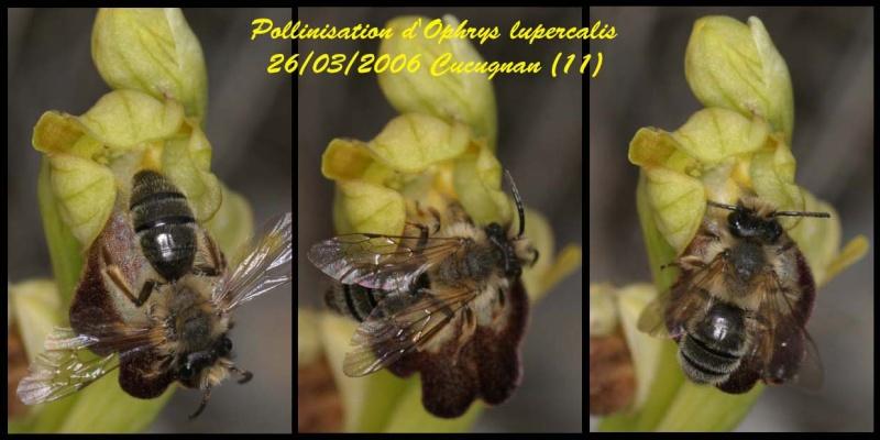 Andrena nigroaenea - Page 2 Pseudo10
