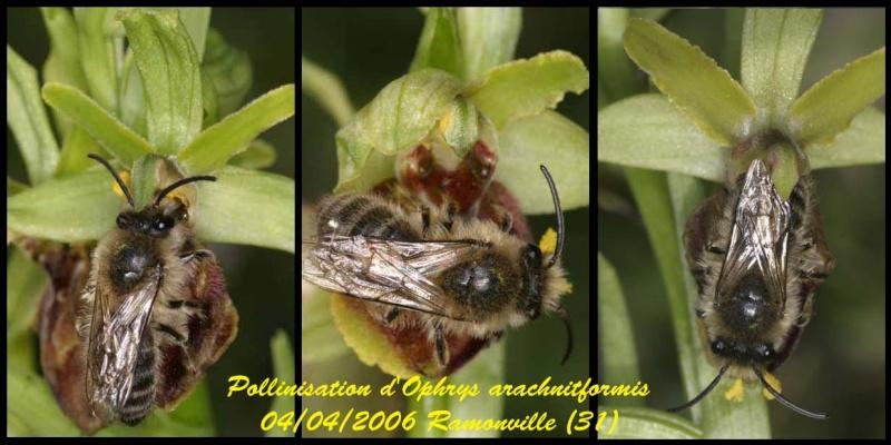 Andrena nigroaenea - Page 2 Pseudo11