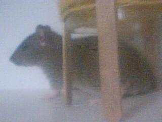 Mes rats Image_17