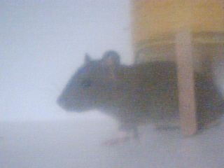 Mes rats Image_18