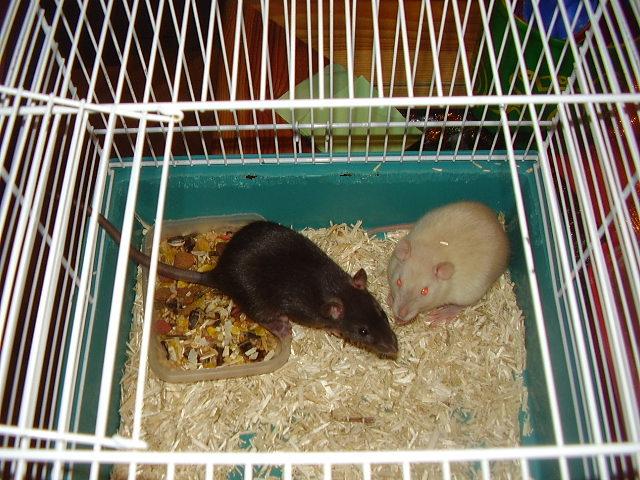 Mes rats Photo_10