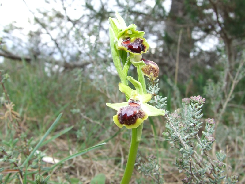 Variation sur Ophrys provincialis Dscf4718
