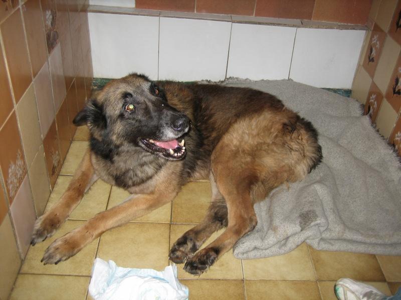 URGENCE euthanasie Malinois (m) 7 ans, maltraité et paralysé pattes arrières - SAUVE - Img_8010