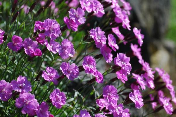 [i]Dianthus corsicus[/i] est-il originaire de Corse ? Dianth11