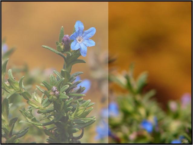 Lithodora Prostrata (espèce protégée) Nmacro10