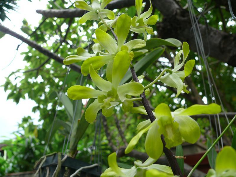 Orchidées de Thailande Du12au16