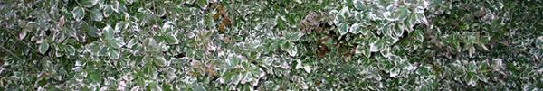 Euonymus fortunei minimus Img_1110