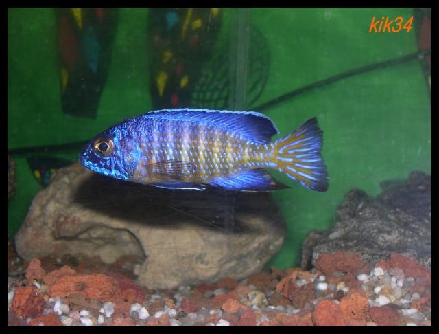 photos et videos de vos poissons du malawi Dscn3913