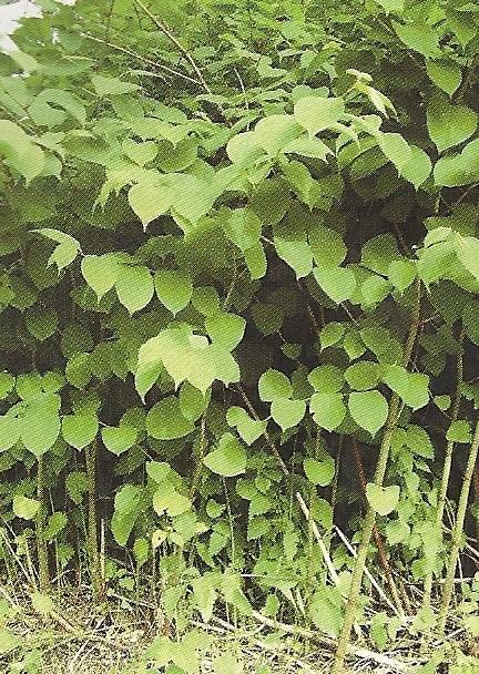 Plantes Envahissantes Numari14