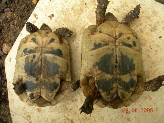 Différents taxons de T. graeca Dscn5511