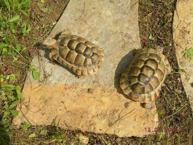 Différents taxons de T. graeca Dscn8710