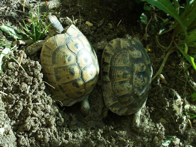 "Incubation naturelle ou ""in natura"" P5143110"