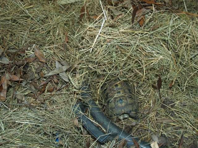 SUD de la France : exemple de fosse d'hibernation pour Testudo graeca Pc151716