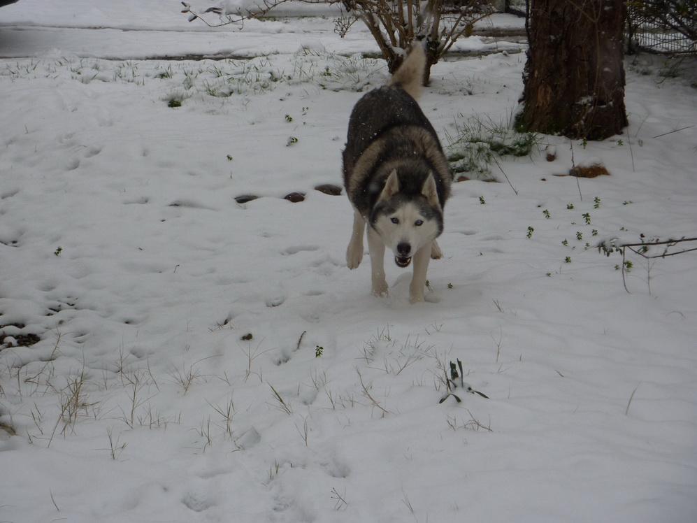 CANDY - femelle husky 12 ans - Asso TAIGA [DECEDEE] - Page 10 P1010910