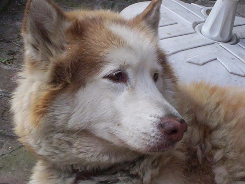 TARTINE - Femelle husky - 14 ans - Lille 100_5210
