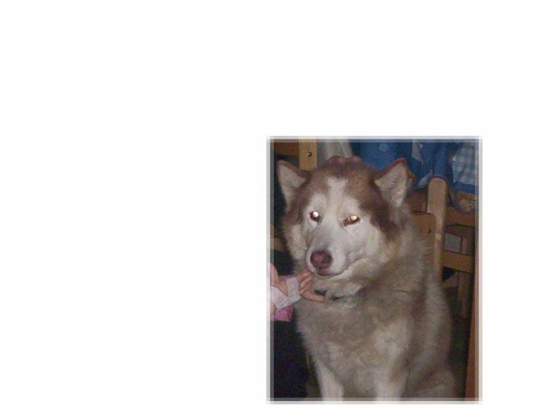 TARTINE - Femelle husky - 14 ans - Lille 100_5510