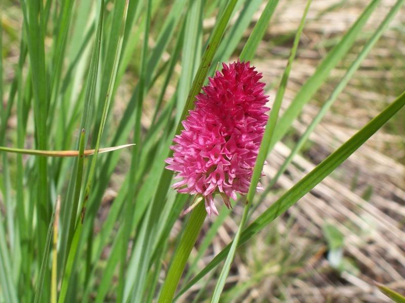Gymnadenia ( Nigritella ) corneliana ( N.de Cornelia ) 100_3210
