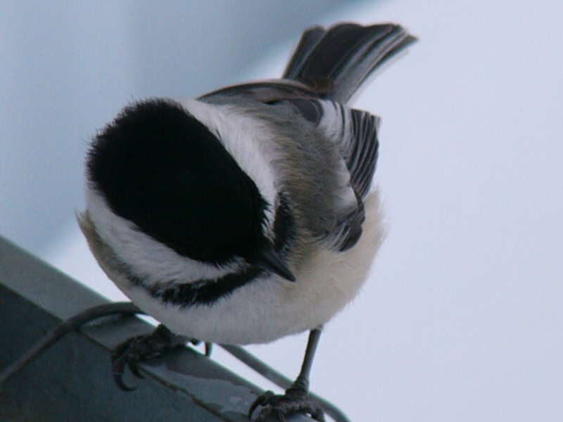 À la distasio, pour les oiseaux!! Petite10