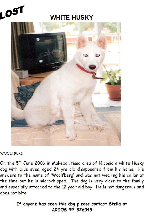 White Husky Missing - Nicosia Area Huskym10