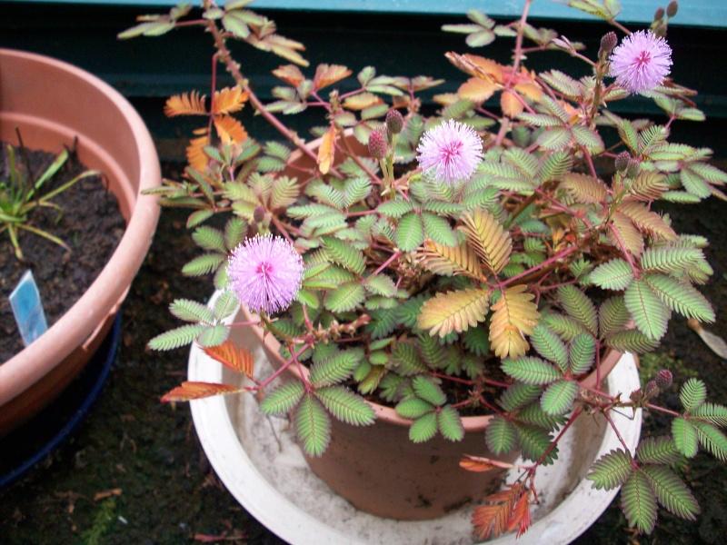 Mimosa pudica 100_0010