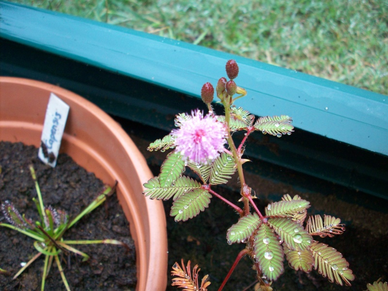 Mimosa pudica 100_0012