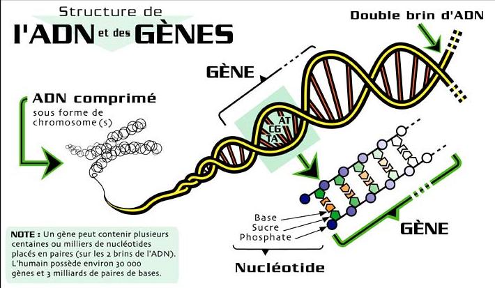 L'ADN DE L'HOMME DANS LA 5ème DIMENSION.... L'ERE DU VERSEAU... Adn_710