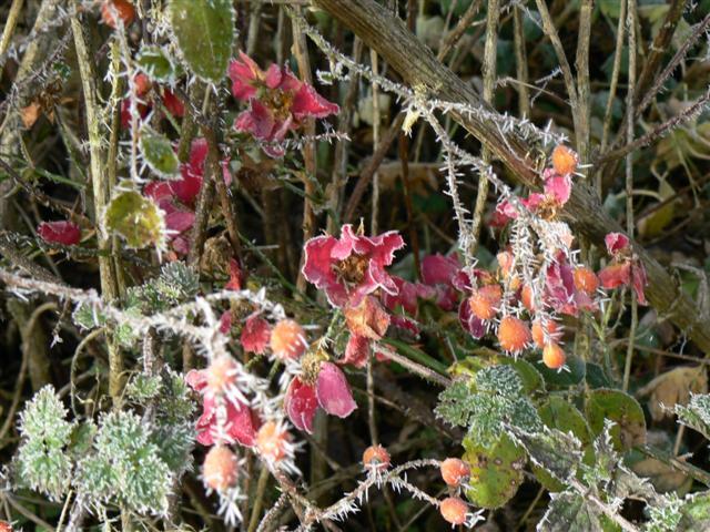 quelques fleurs du jardin avant l'hiver!! Fleur_12