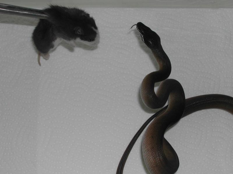 Leiopython albertisi - Page 2 00910