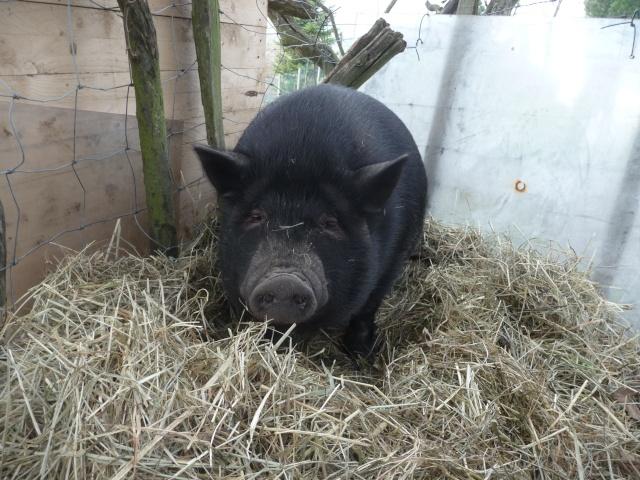 qui a un cochon au pré ..un vrai  , lol Dec_2032