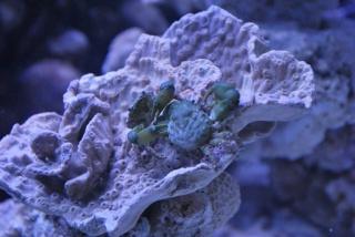 Le bac des Maniacodesrécifs (méthode Reefcorner) - Page 6 Dsc_0418