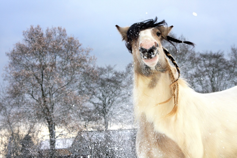 """Votez pour""""  L' irish cob dans la neige """" Img_7914"""