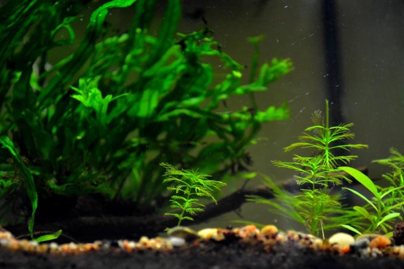 Petit Mur Végétal sur un Aquarium de 40L Dsc_0114