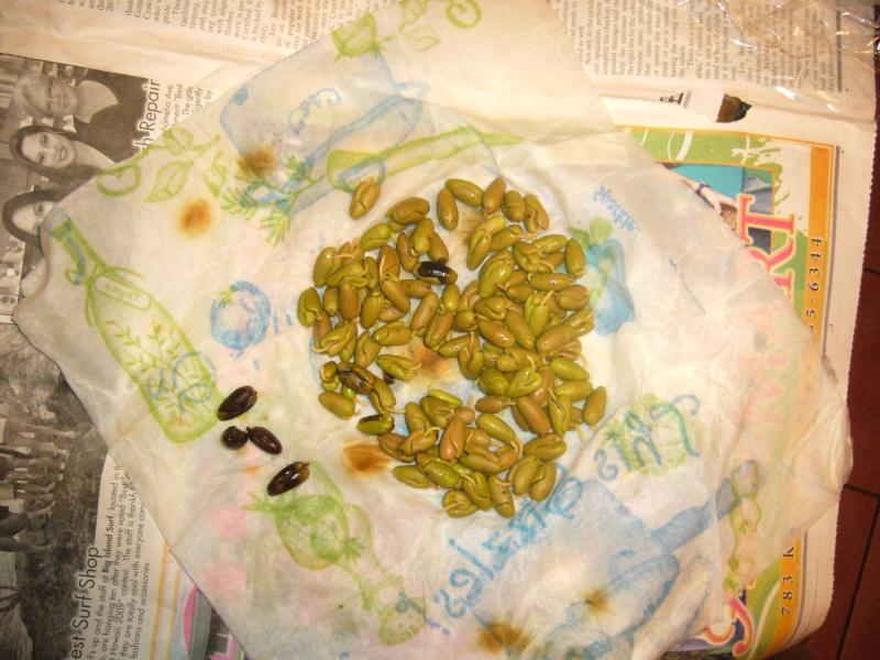 Semis de girofliers (Syzygium aromaticum) P1110511